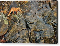 Fox On The Rocks Acrylic Print