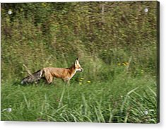 Acrylic Print featuring the photograph Fox On The Run by Ron Read