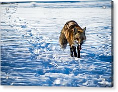 Fox Path Acrylic Print