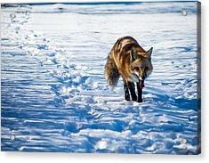 Fox Path Acrylic Print