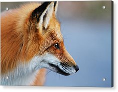Fox Profile Acrylic Print