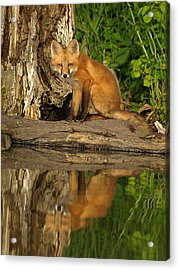 Fox Reflection Acrylic Print