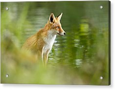 Fox Reflections Acrylic Print by Roeselien Raimond