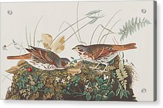 Fox Sparrow Acrylic Print by John James Audubon