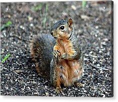 Fox Squirrel Breakfast Acrylic Print