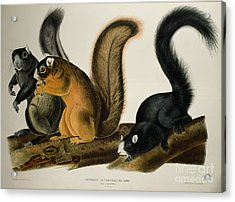 Fox Squirrel Acrylic Print by John James Audubon