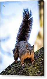 Fox Squirrel On Alert Acrylic Print