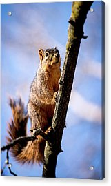 Acrylic Print featuring the photograph Fox Squirrel's Last Look by Onyonet  Photo Studios