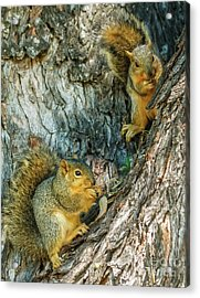 Fox Squirrels Acrylic Print