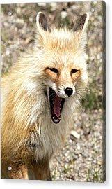 Fox Yawn Acrylic Print