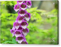 Acrylic Print featuring the photograph Foxglove Flowering by Tim Gainey