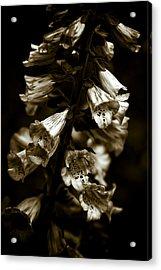 Foxglove Flowers Acrylic Print by Frank Tschakert
