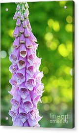 Acrylic Print featuring the photograph Foxglove Light by Tim Gainey