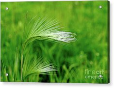 Foxtails Blowing In The Wind Acrylic Print