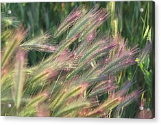 Foxtails In Spring Acrylic Print