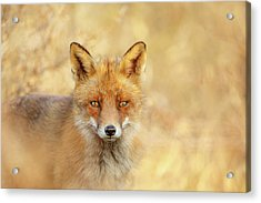 Foxy Faces Series- That Look Acrylic Print