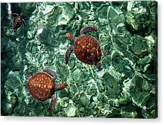 Fragile Underwater World. Sea Turtles In A Crystal Water. Maldives Acrylic Print