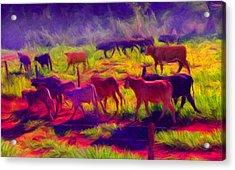 Franca Cattle 1 Acrylic Print