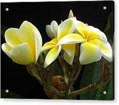 Frangipani Blossoms Acrylic Print by Frederic Kohli
