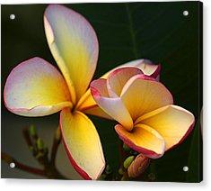 Frangipani Flowers Acrylic Print by Ralph A  Ledergerber-Photography
