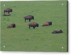 Free Range Buffalo Acrylic Print by Tina B Hamilton