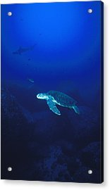 Free Swimming Green Sea Turtle Acrylic Print by James Forte
