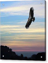 Free To Fly Again - California Condor Acrylic Print by Daniel Hagerman