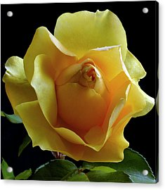 Freedom Rose Acrylic Print by Terence Davis