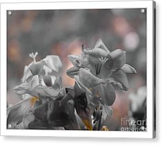 Freesia'a Without Colour Acrylic Print