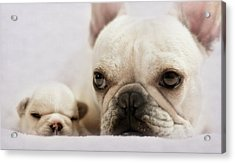 French Bulldog Acrylic Print by Copyright © Kerrie Tatarka