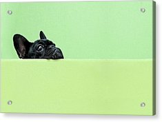 French Bulldog Puppy Acrylic Print by Retales Botijero