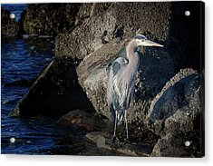 Acrylic Print featuring the photograph French Creek Heron by Randy Hall