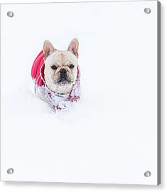Frenchie In The Snow Acrylic Print