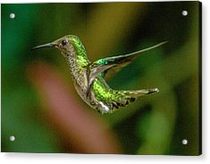 Frequent Flyer 2, Mindo Cloud Forest, Ecuador Acrylic Print