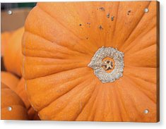 Fresh Organic Orange Giant Pumking Harvesting From Farm At Farme Acrylic Print by Jingjits Photography