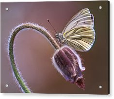 Fresh Pasque Flower And White Butterfly Acrylic Print by Jaroslaw Blaminsky
