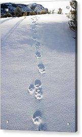 Fresh Wolf Tracks In Yellowstone Acrylic Print