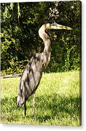 Friday Visitor-heron Acrylic Print
