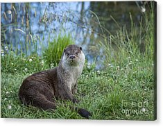 Friendly Otter Acrylic Print by Philip Pound