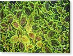 Friendship Plant Acrylic Print