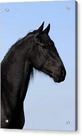 Friesian Stallion Acrylic Print by Michael Mogensen