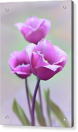 Acrylic Print featuring the photograph Fringe Tulips by Jessica Jenney