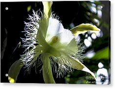 Fringed Orchid Acrylic Print by Marilyn Carlyle Greiner