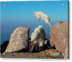 Leaping Baby Mountain Goat Acrylic Print
