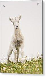 Frisky Lamb Acrylic Print