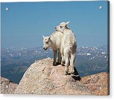 Frisky Mountain Goat Babies Acrylic Print