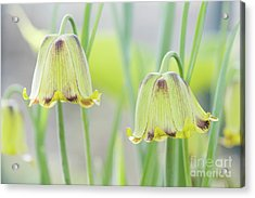 Acrylic Print featuring the photograph Fritillaria Crassifolia by Tim Gainey