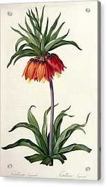 Fritillaria Imperialis Acrylic Print by Pierre Joseph Redoute