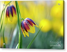 Acrylic Print featuring the photograph Fritillaria Reuteri by Tim Gainey