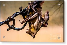 Friut Bats Mingle Acrylic Print